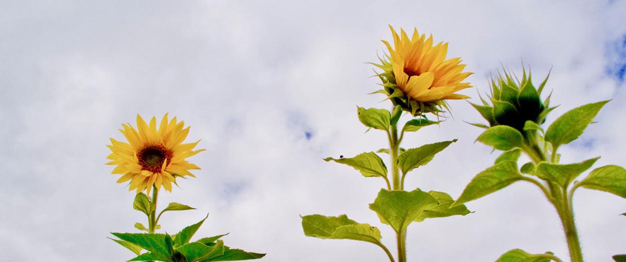 Sonnenblumen am Wolkenhimmel